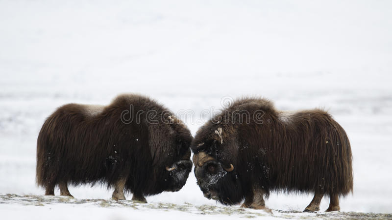 Fighting Musk-ox pair in Norge royalty free stock image
