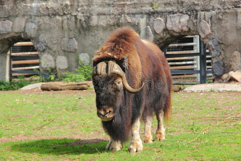 Musk ox. royalty free stock photography