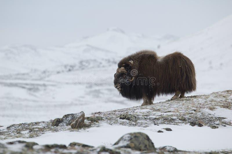 Musk-ox in winter stock photo