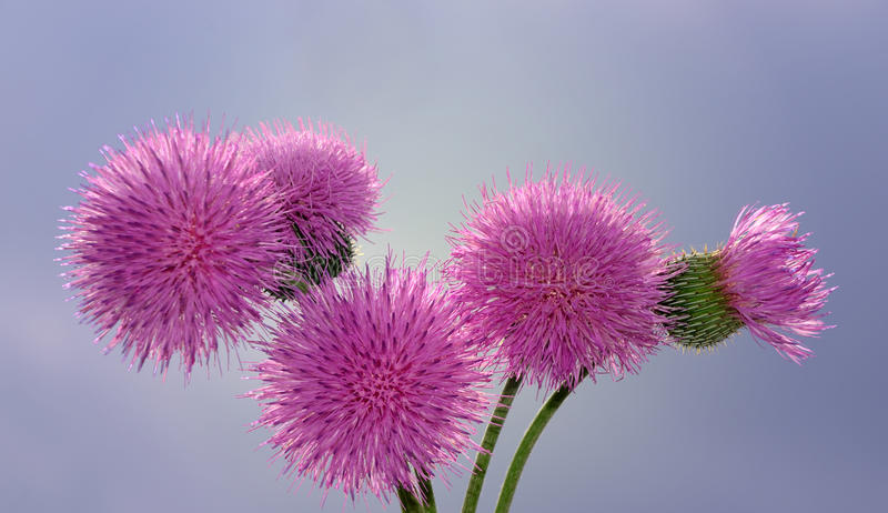 Download Musk Thistle stock image. Image of thistle, flower, musk - 29001441