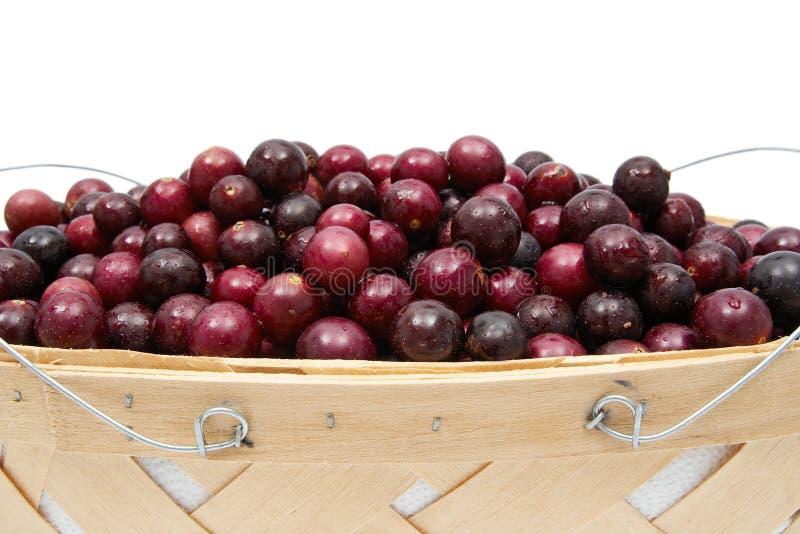 Muskardine-Trauben stockfoto