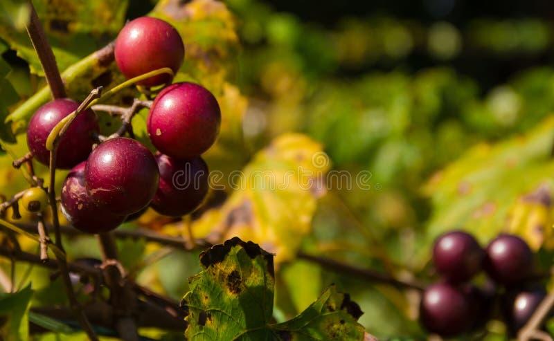 Muskardinen-Trauben stockbild