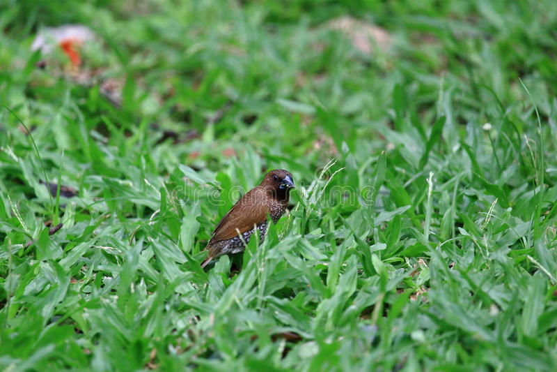Muskatamadine-Vogel, der Gras-Samen auf dem Rasen isst stockbild