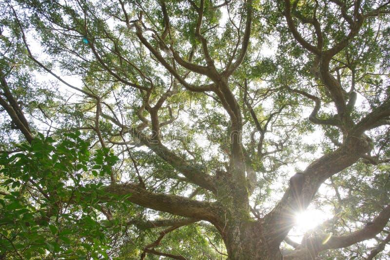 muskatnussbaum mit hintergrundbeleuchtung stockfoto bild von waldland laub 38713118. Black Bedroom Furniture Sets. Home Design Ideas