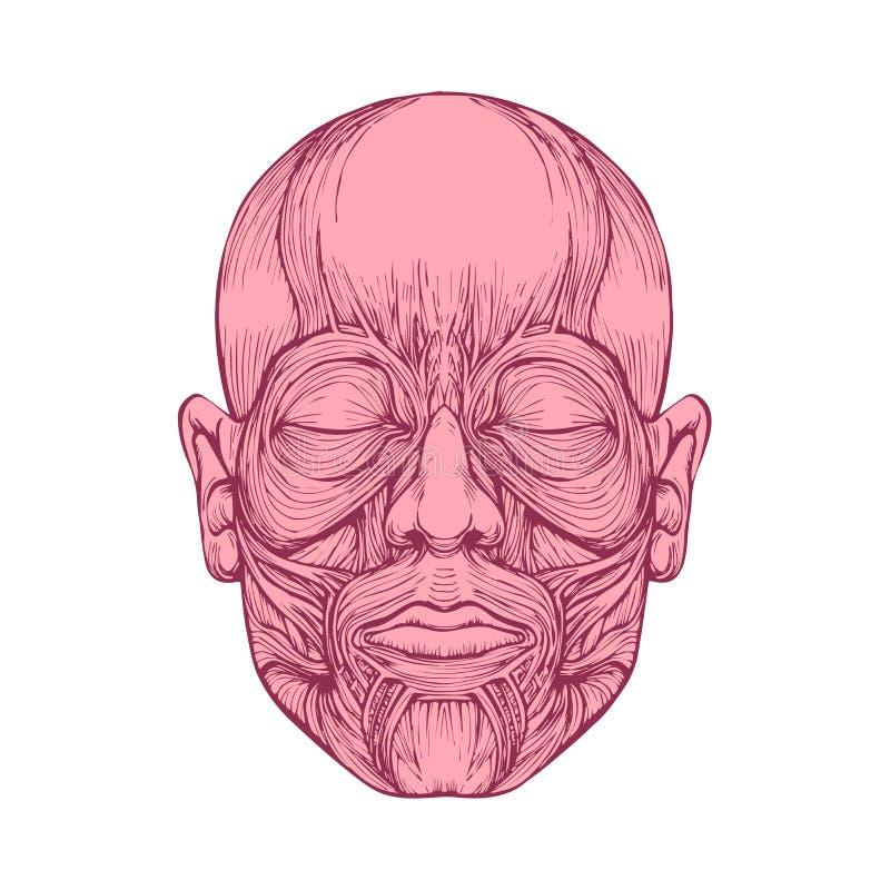 Muskel av framsidor, anatomi för mänskligt huvud, royaltyfri illustrationer