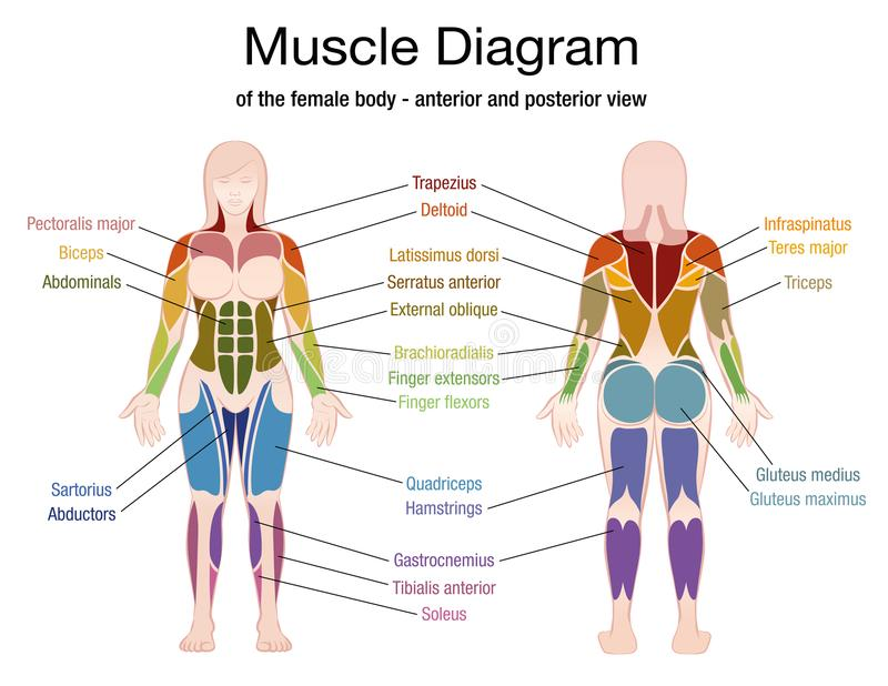 Muskel-Diagramm-weiblicher Körper-Namen Vektor Abbildung ...