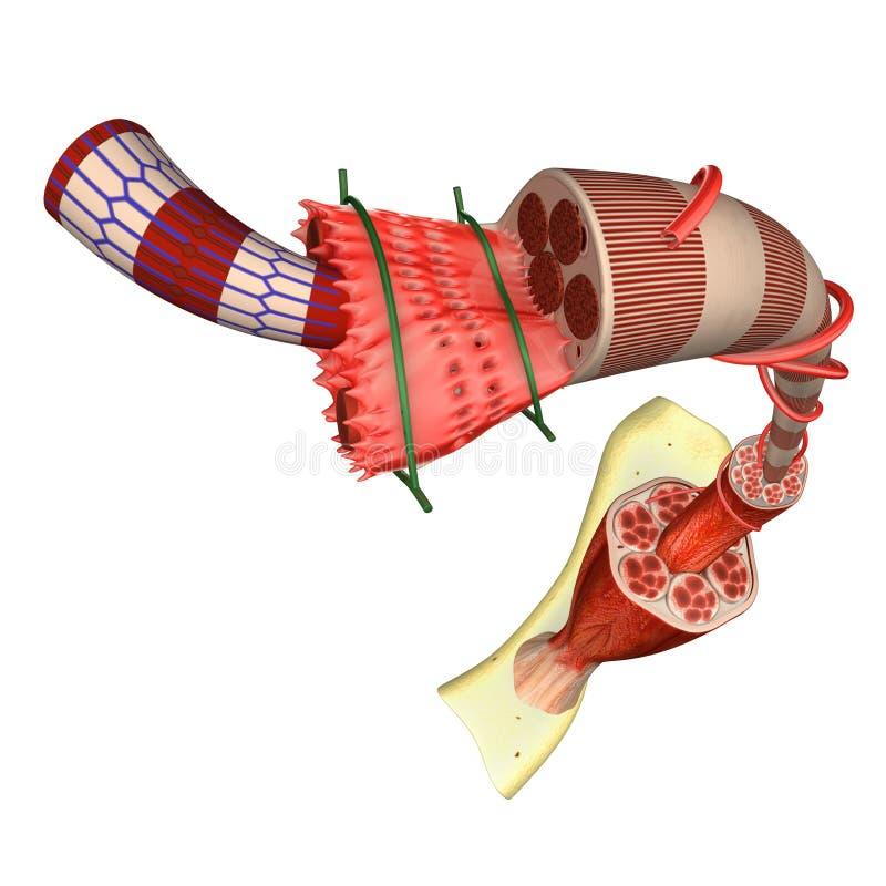 Muskel-Gewebe stock abbildung. Illustration von hintergrund - 50029350