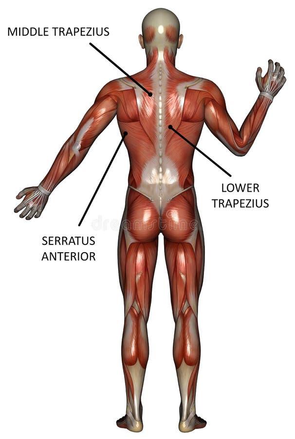 Muskel-Karte Der Rückseite Lokalisiert Stock Abbildung ...