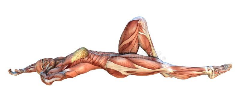 Muskel-Karten der Wiedergabe-3D stock abbildung