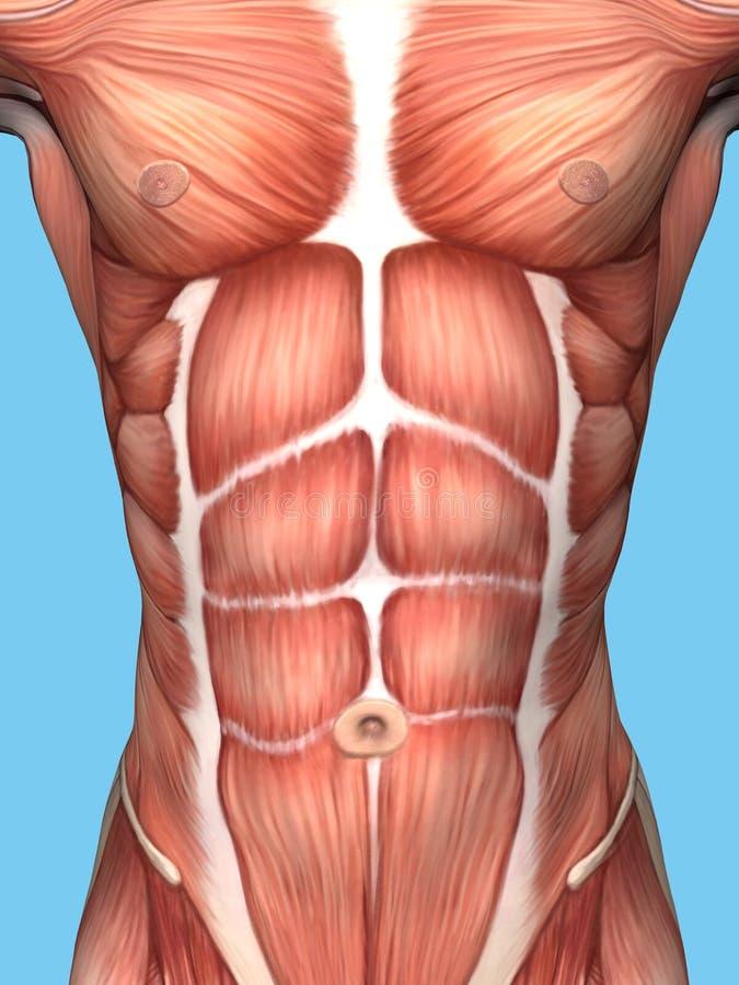 Muskelanatomi av den manliga bröstkorgen vektor illustrationer