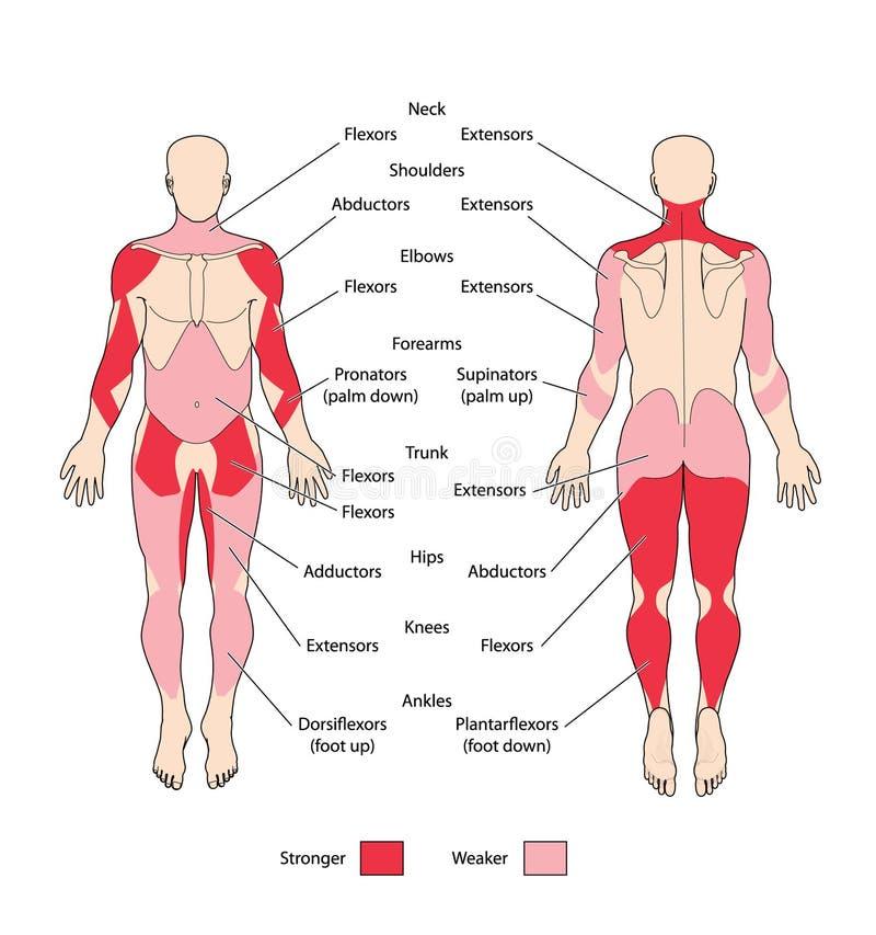 Muskelgruppen und -typen vektor abbildung. Illustration von biologie ...