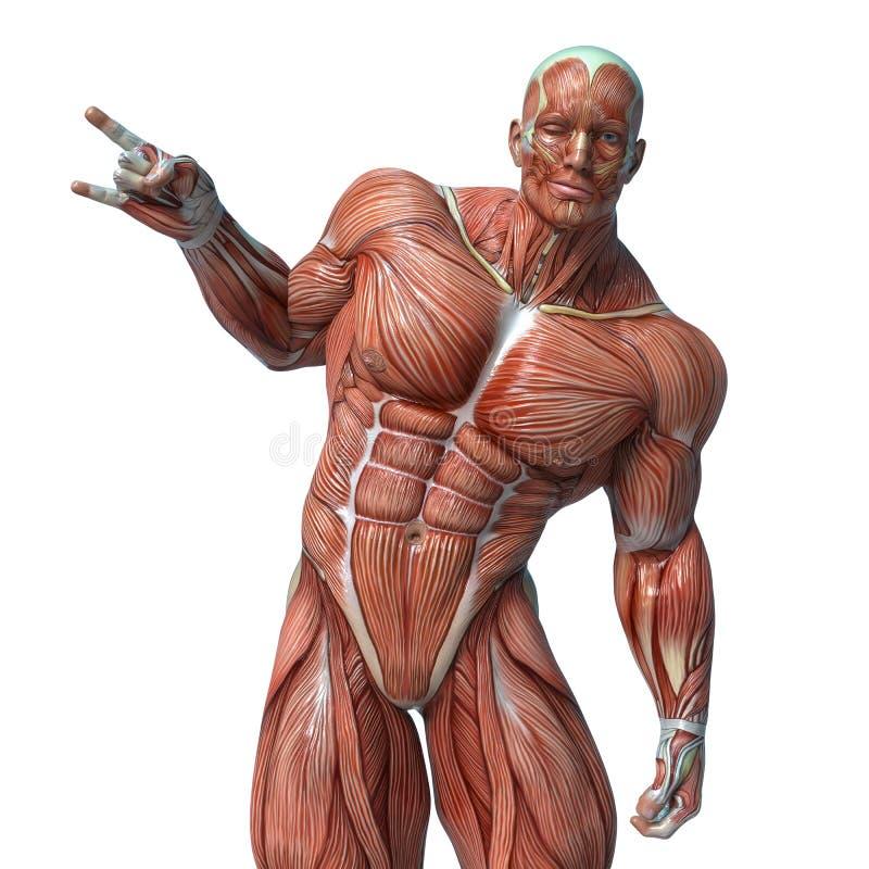 Muskelmananatomi i en vit bakgrund vektor illustrationer