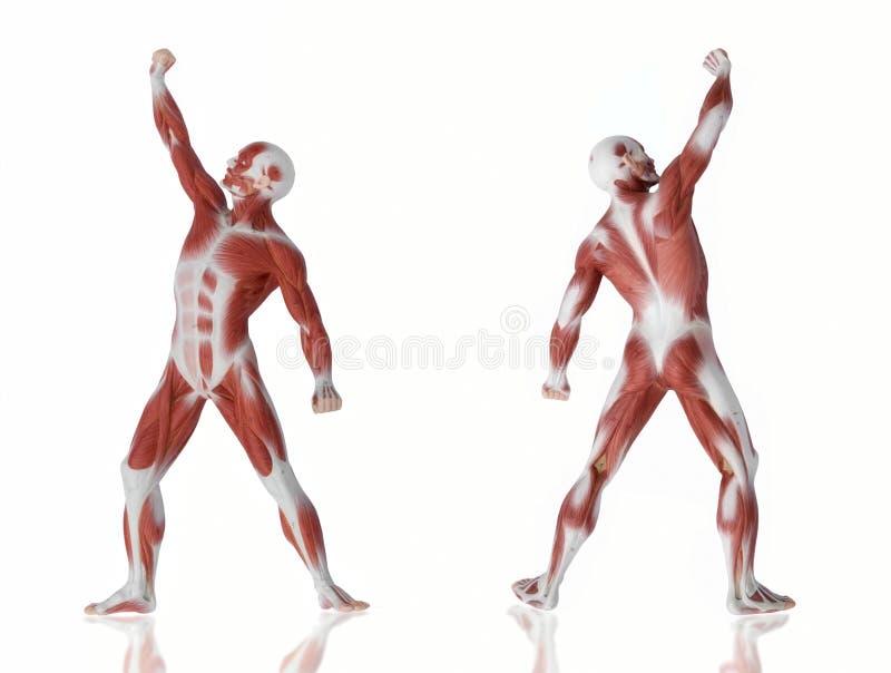 Muskelmannanatomie stockbild
