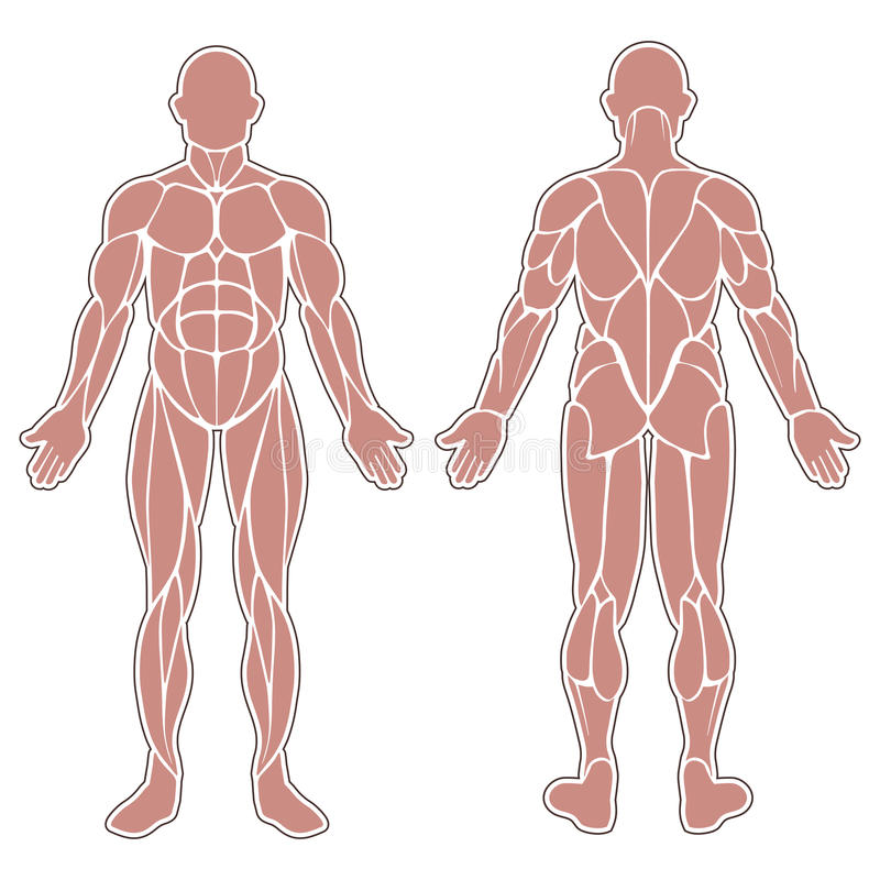 Muskeln Des Menschlichen Körpers Vektor Abbildung - Illustration von ...