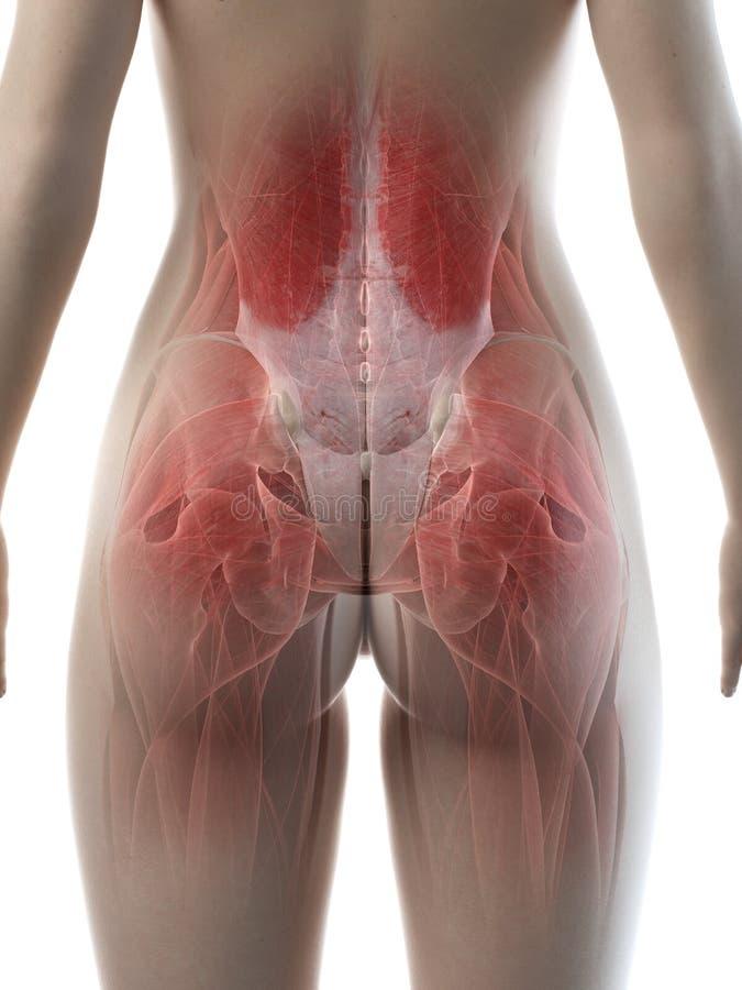 Muskeln einer Frauhüfte lizenzfreie abbildung
