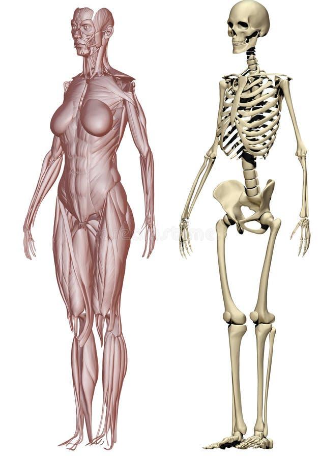 Muskeln und skeleton Frau lizenzfreie abbildung