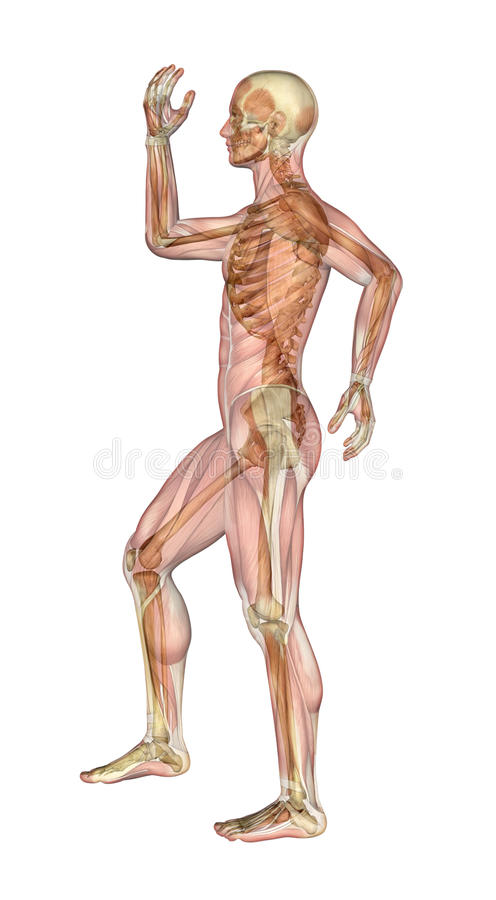 Muskeln und Skelett - Mann mit den Armen und Fahrwerkbein verbogen stock abbildung