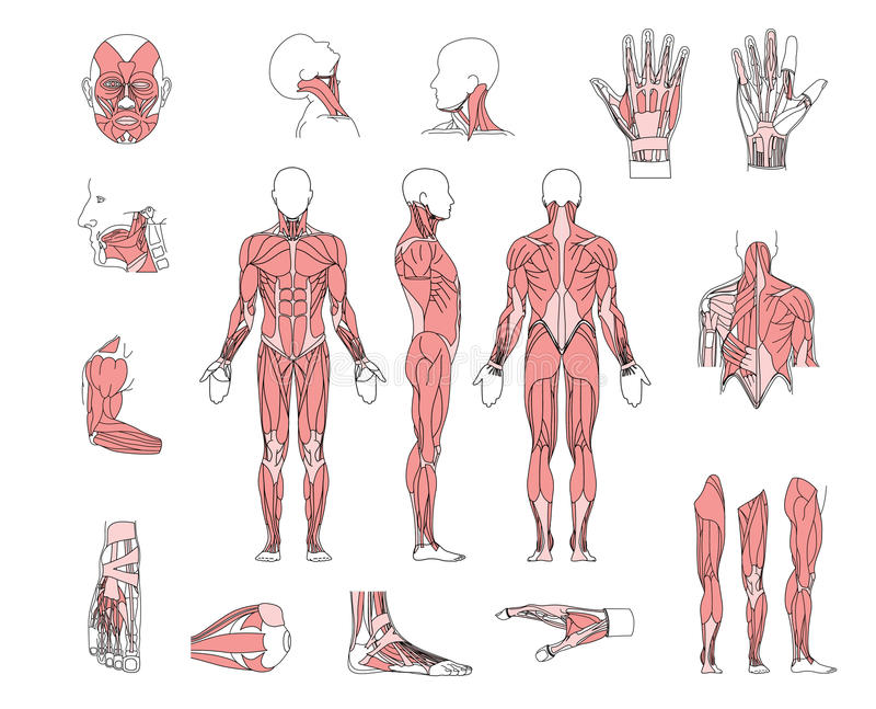 Charmant Teile Muskelsystem Bilder - Menschliche Anatomie Bilder ...