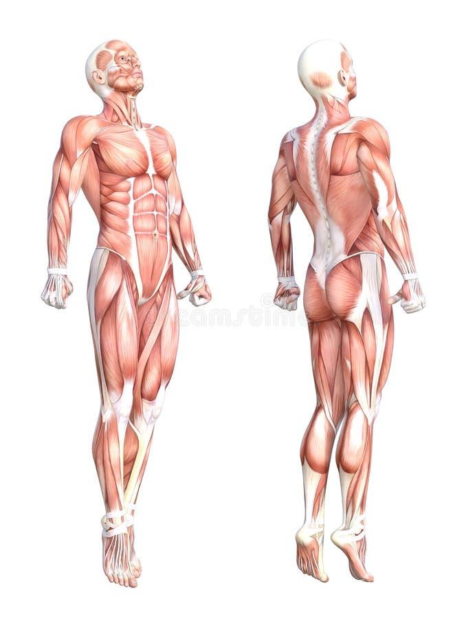 Niedlich Menschliche Anatomie Und Physiologie Muskelsystem Bilder ...