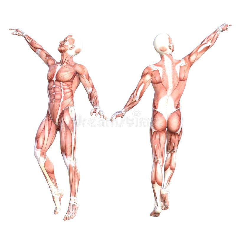 Wunderbar Anatomie Und Physiologie Des Muskelsystems Galerie ...