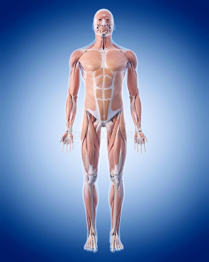 Muskelsystemet stock illustrationer