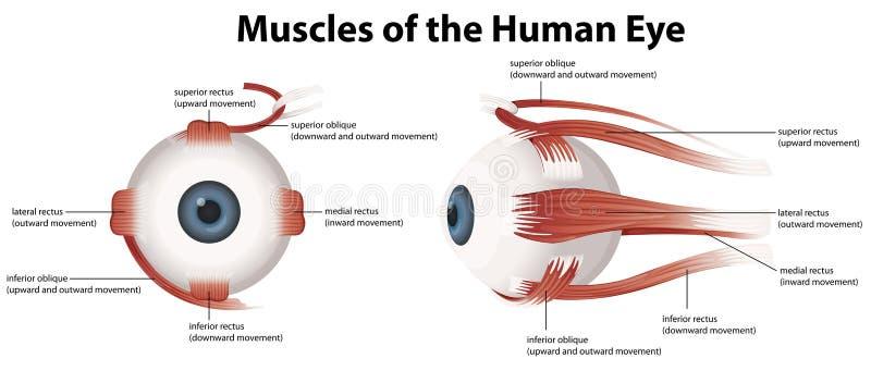 Muskler av det mänskliga ögat vektor illustrationer