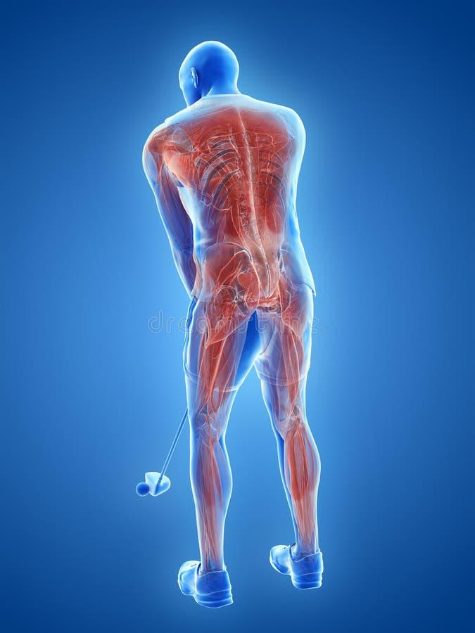 Musklerna av en golfspelare royaltyfri illustrationer