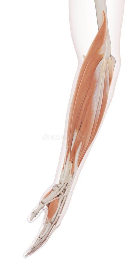 Musklerna för lägre arm vektor illustrationer