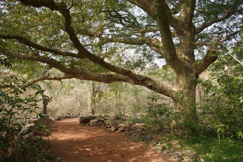 Muskotnöt Forest Park i den Jeju ön royaltyfria bilder