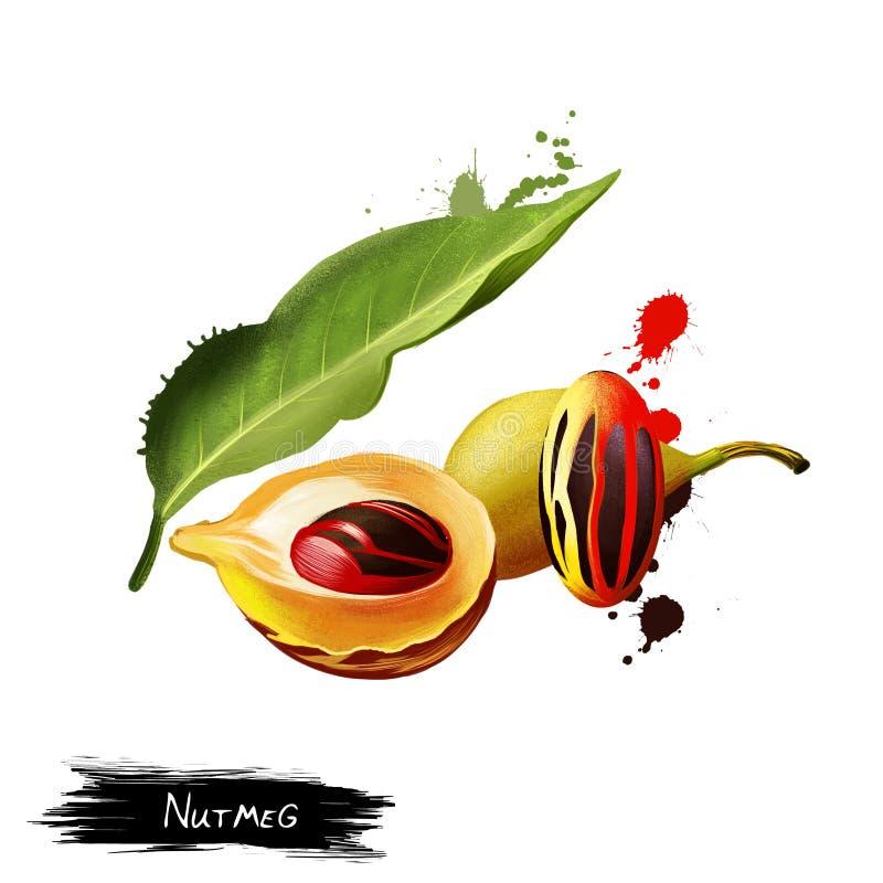 Muskotnötväxt och frukt som isoleras på vit vektor illustrationer