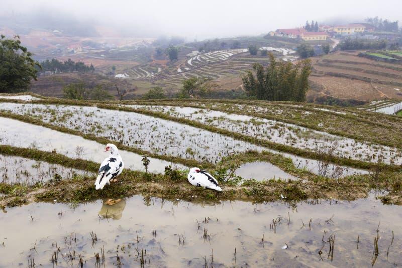 Muskovy penche la position dans l'eau sur les gisements en terrasse de riz photos stock