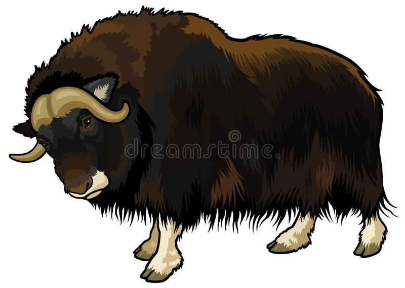 Muskox. Ovibos moschatus, animal of arctic, side view illustration isolated on white background stock illustration