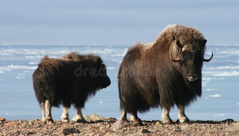 Muskox, Arctique canadien photographie stock