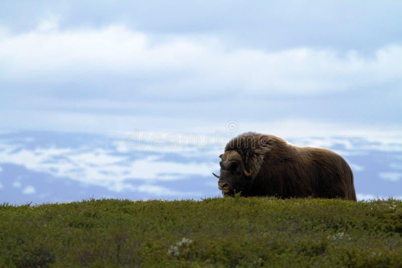 Muskox avec la montagne à l'arrière-plan, grand animal dans l'habitat de nature images stock