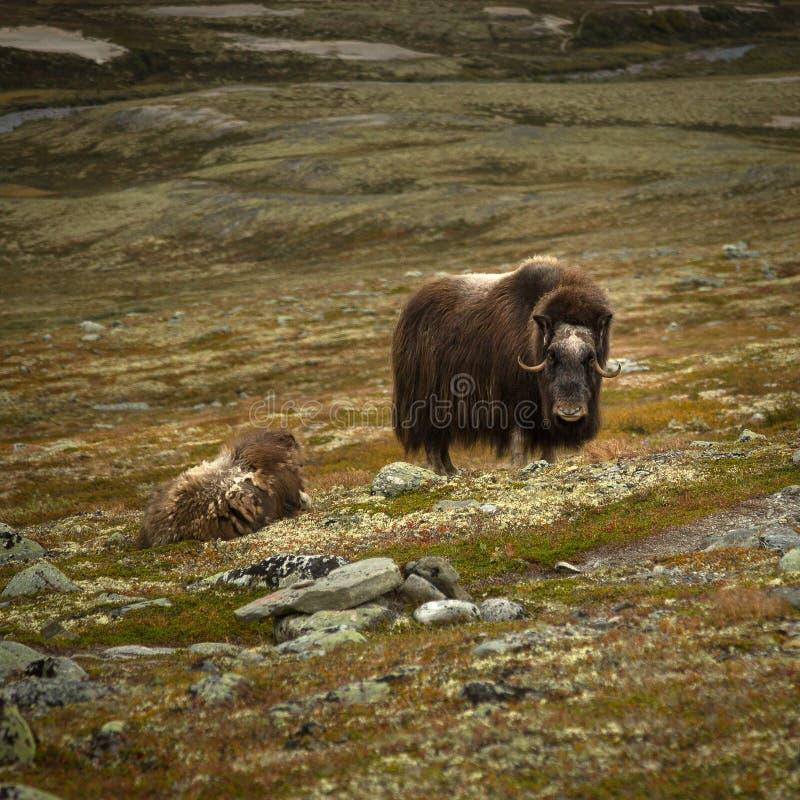 Muskox em montanhas de Dovre, animais selvagens noruegueses imagens de stock royalty free