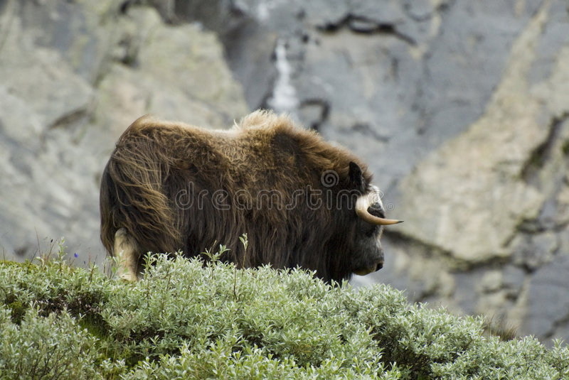 Download Muskox Norvège De Dovrefjell Photo stock - Image du velu, europe: 3373046