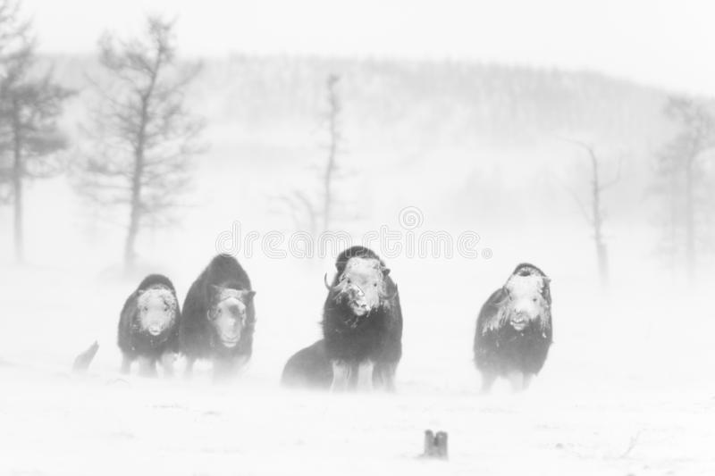 Muskox sauvage dans la tempête de neige image libre de droits
