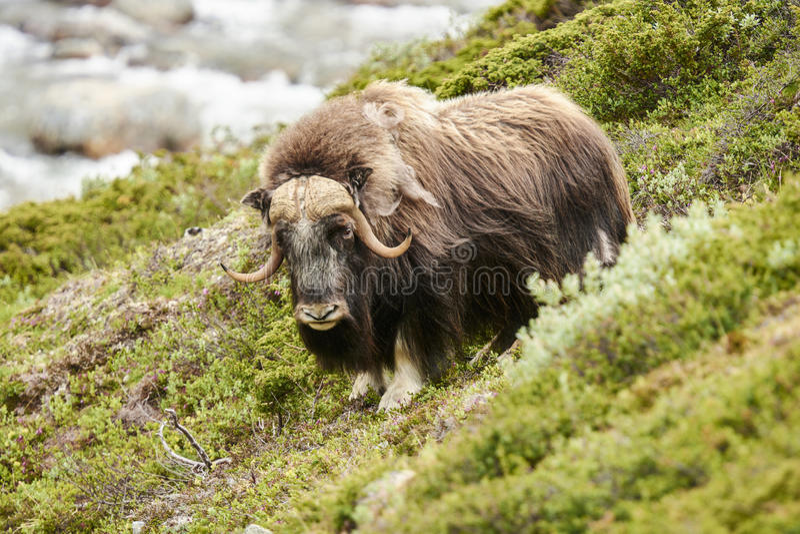 Muskox sulla montagna fotografie stock