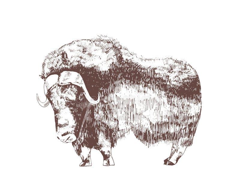 Muskox tiré par la main avec des courbes de niveau sur le fond blanc Dessin de croquis monochrome de bovin à sabots herbivore illustration stock