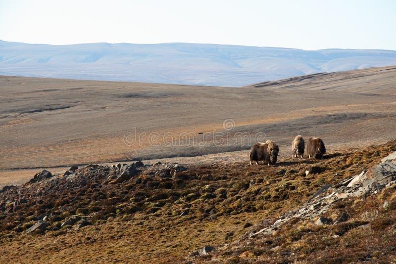 Muskox in tundra artica fotografia stock libera da diritti