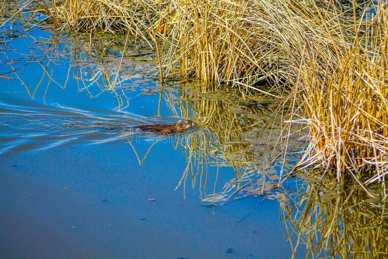 Muskrat που κολυμπά στο Frank Lake, Αλμπέρτα, Καναδάς στοκ εικόνες