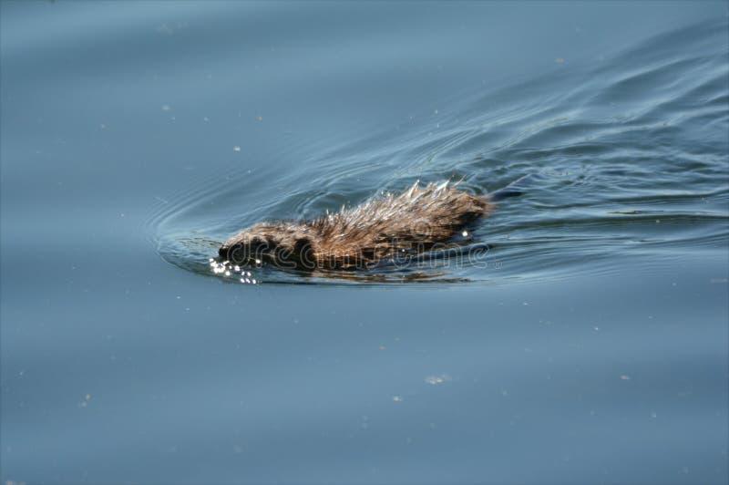 Muskrat που κολυμπά σε μια λίμνη στοκ εικόνα