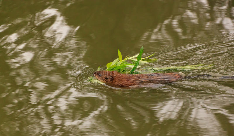 Download Muskrat Royalty Free Stock Images - Image: 25940979