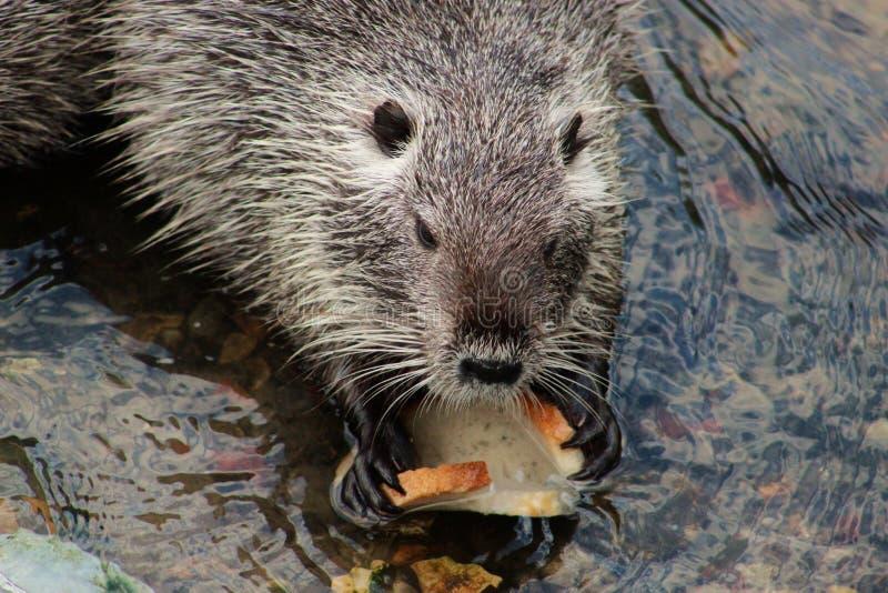 Muskrat, Beaver, Mammal, Fauna Free Public Domain Cc0 Image