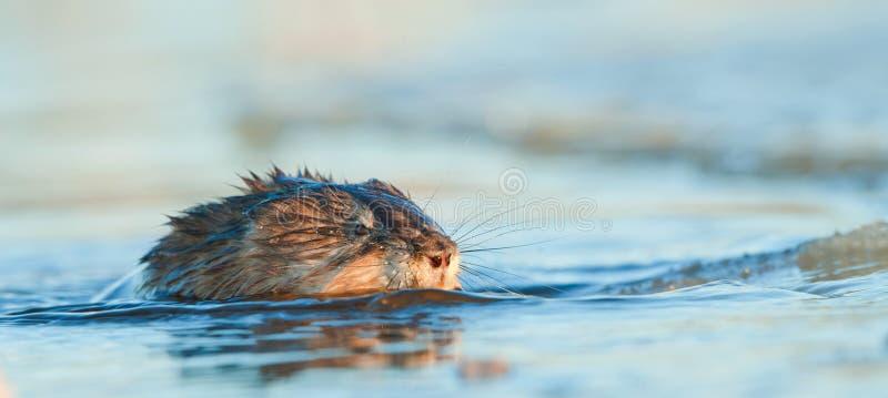 Muskrat da natação & x28; Zibethica do Ondatra & x29; imagens de stock