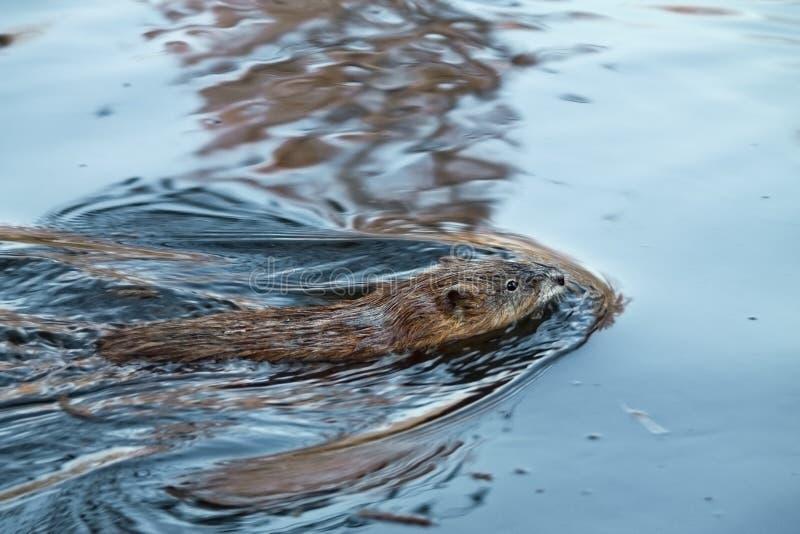 Muskrat de la natación fotos de archivo