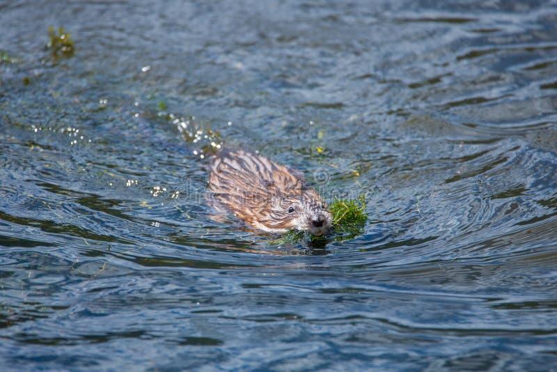 Muskrat de la natación imagen de archivo libre de regalías