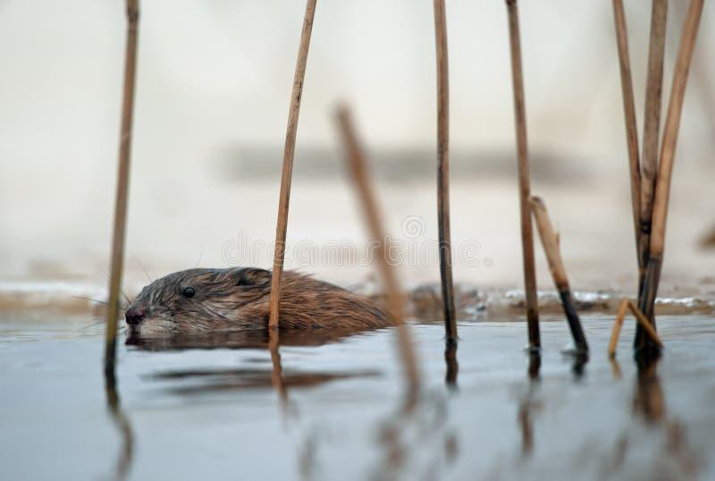Muskrat di nuoto immagine stock