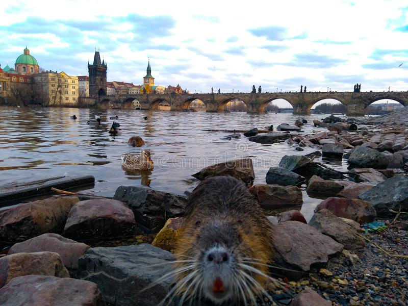 Muskrat na água em Charles Bridge em Praga fotografia de stock royalty free