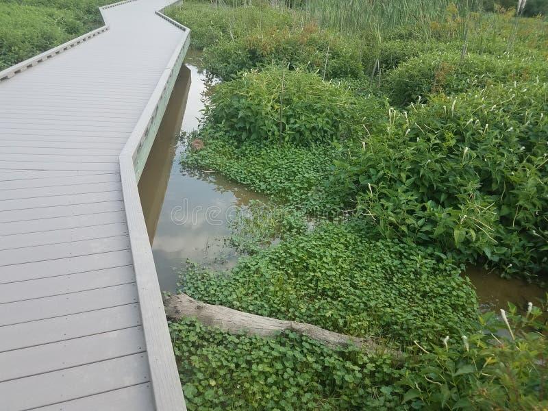 Muskrat na água no pantanal fotos de stock